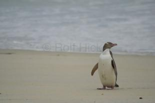 photo of Yellow Eyed Penguin Otago Peninsula