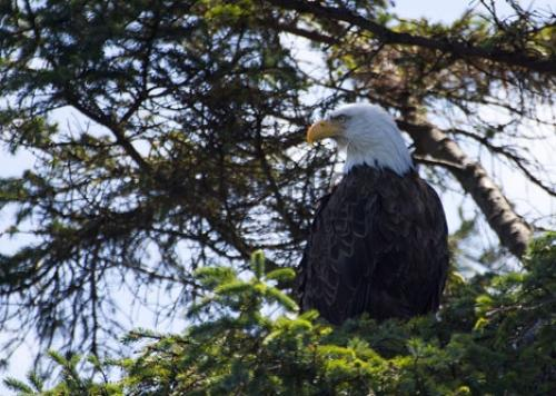 Picture of Bald Eagle Pics