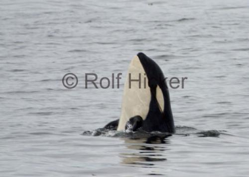 Photo:  Orca Whales A73 Spyhopping