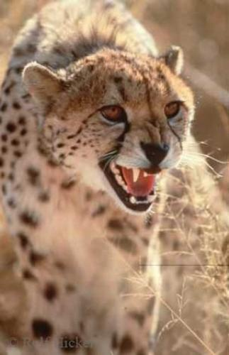 Photo:  Cheetah Pictures