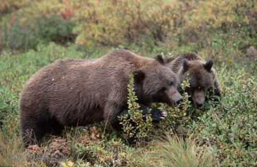 Photo:  Grizzly Bear Image