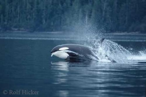 Photo:  orca whale hunting