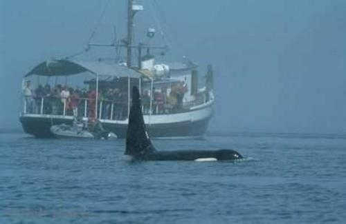 Photo:  Wooden Boat Orcas Whale Pictures