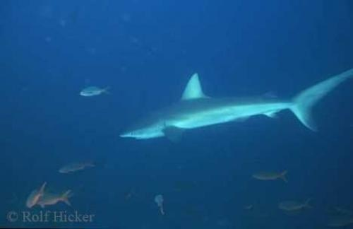 Underwater Shark Pictures