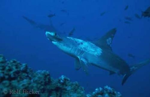 Photo:  hammerhead shark