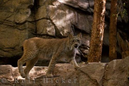 Photo:  Animal Picture Canadian Lynx
