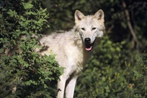 Picture of Arctic Wolf