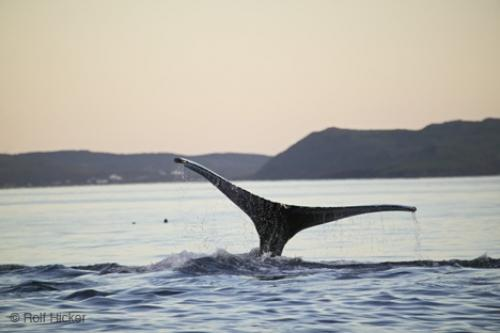 Pictures Of Whales In The Ocean. Atlantic Ocean Whale: