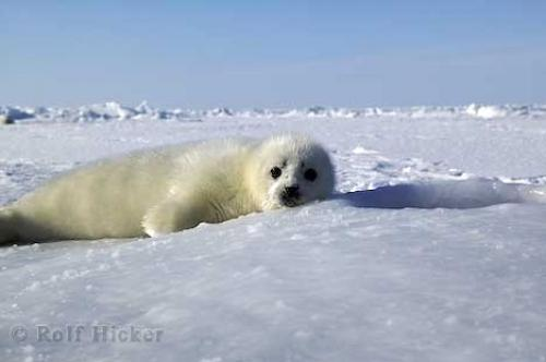 Baby Animals Harp Seal Pup