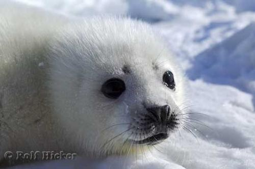 White Baby Harp Seal Pup | Photo, Information - photo#14