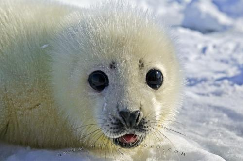 A baby harp seal is born