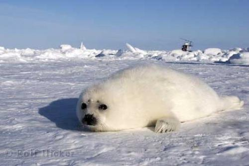 Baby Seal ice Floes