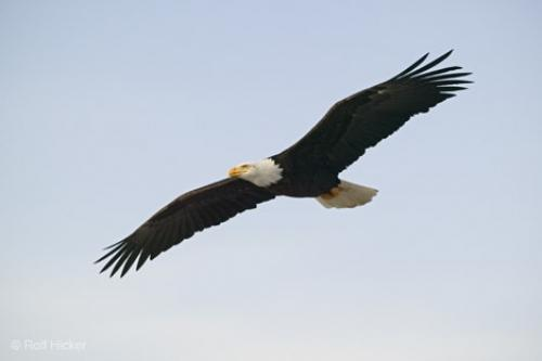 Bald Eagles in-flight. This photo was taken completely