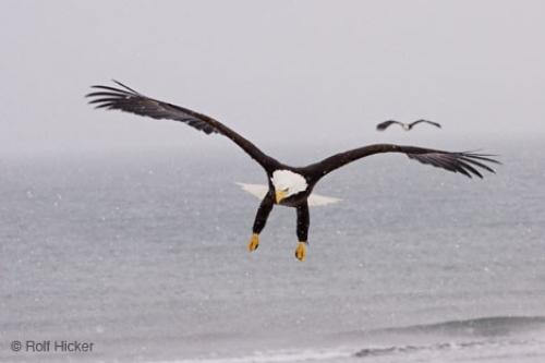 Bald Eagles Flying