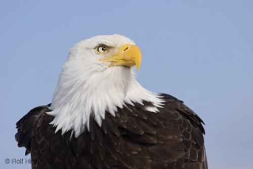 Pictures Of Bald Eagle - Free Bald Eagle pictures