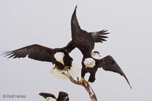 American Eagles Fighting