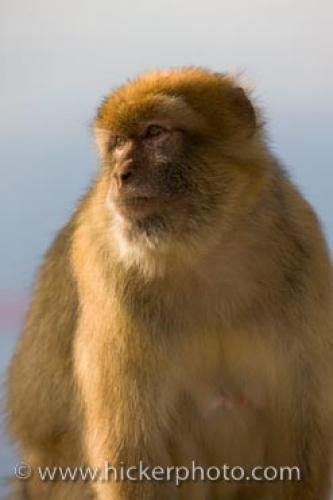 Barbary Macaque Portrait Rock Of Gibraltar Britain