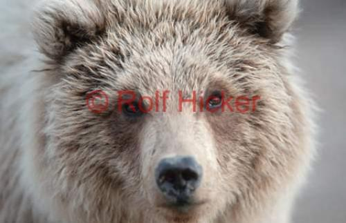 Photo:  Young Grizzly Bear Portrait