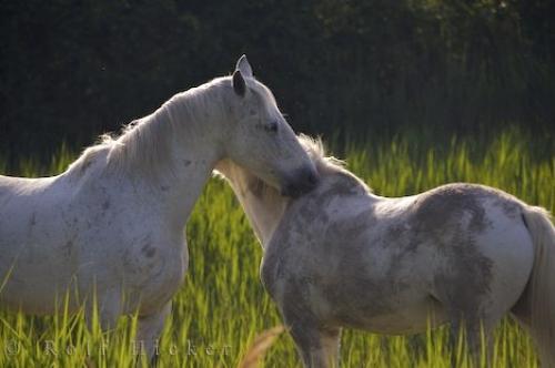 Photo:  Beautiful Camargue Horses Parc Naturel Regional De Camargue Provence France