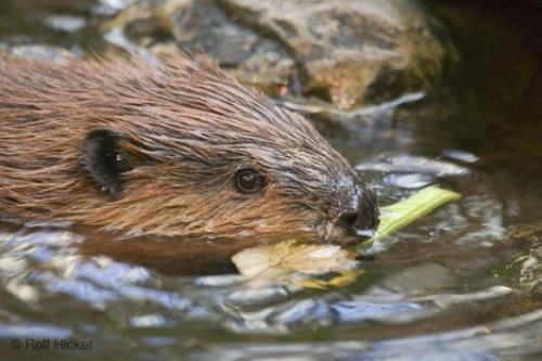 Photo:  Facts About Beavers