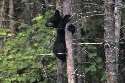 Photo:  Black Bear Cub On Tree