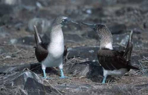blue footed boobies 530 - Galapagos islands