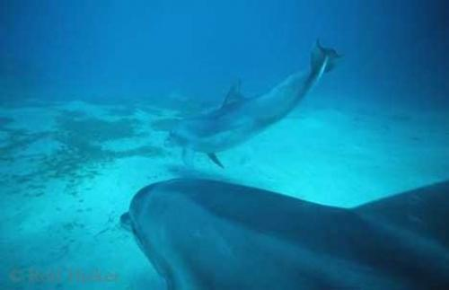 Bottlenose Dolphins Underwater Photo