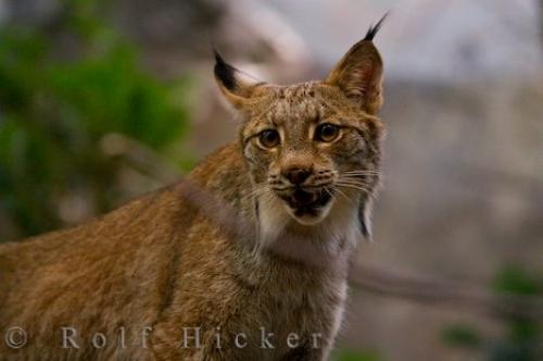 Canadian Lynx Animal Picture