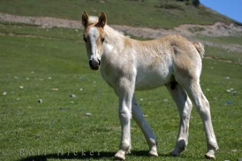 Picture of Colt Horse Spain