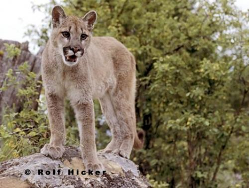 http://www.hickerphoto.com/data/media/40/cougar_animal.jpg