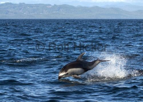 Photo:  Pacific White Sided Dolphin Beside Boat