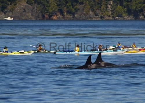 Photo:  Kayaking With Whales Johnstone Strait
