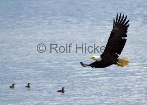 Photo:  Flying Bird pictures of bald eagles