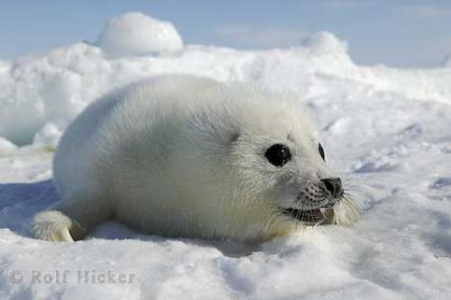 seal animal. Harp Seals with the Humane