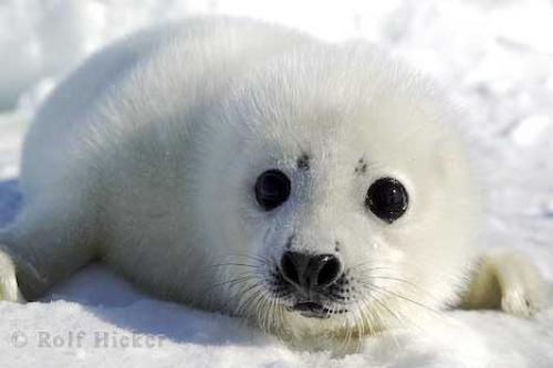 seal. Protect Harp Seals with