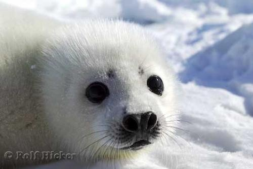Cute Seal Face Photo Information