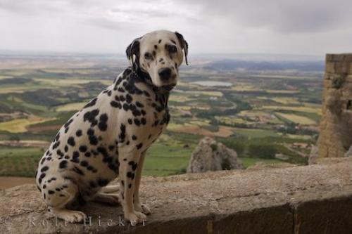 http://www.hickerphoto.com/data/media/185/dalmatian-dog_11852.jpg