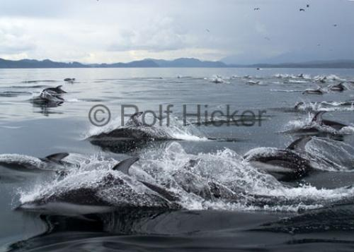 Photo:  Dolphin Images Large Group Of Animals