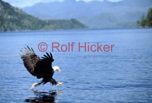 Bald Eagle Catching Fish http://www.hickerphoto.com/picture/bald-eagle-photos-5731.htm