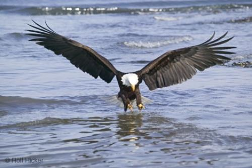 eagle_fishing_T5850.jpg