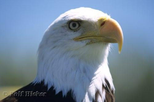 Photo: Adult Male Eagle Portrait