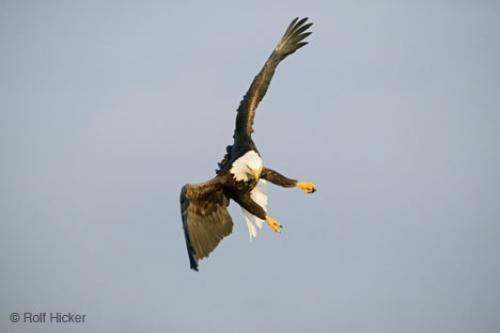 Bald Eagle Flying Changing Directions