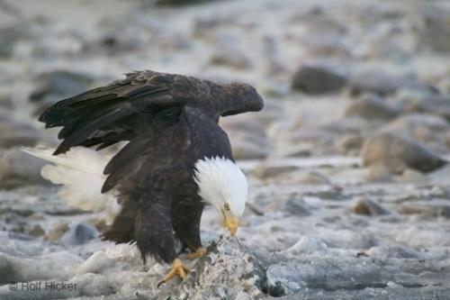 Photo:  Eating Salmon Eagle Photos