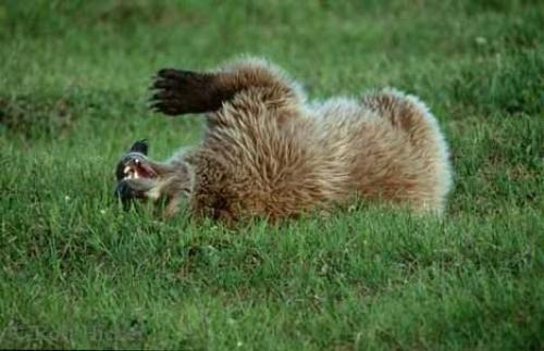 Photo:  Endangered Grizzly Bears