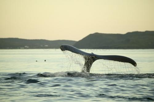 humpback whale tail pictures