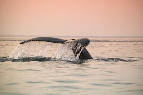 facts about humpback whales