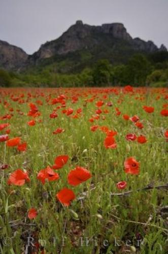 Photo:  Field Of Red Poppies
