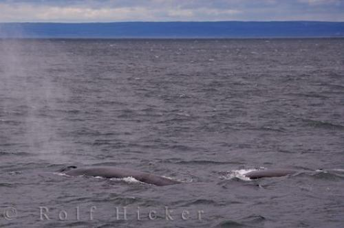 Photo:  Fin Whales Tadoussac Gulf St Lawrence Quebec Canada