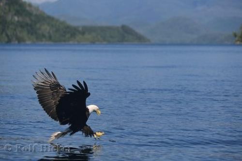 Bald Eagles are efficient birds of prey and well adapted for fishing.