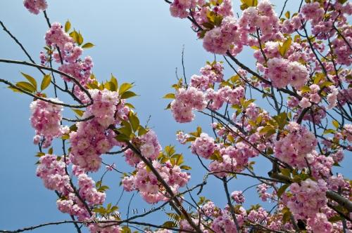Picture of Flowering Trees